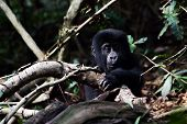 image of gorilla  - Baby Gorilla in the Bwindi national park rainforest - JPG