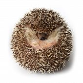 Hedgehog Act Like A Ball On White Background