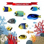 foto of angelfish  - Coral reef fishes - JPG