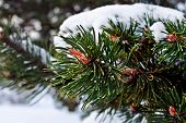 Pine Branch With The Kidneys, Covered With Snow
