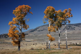 image of lamar  - Colorful Autumn Trees on Maeadow near Lamar River in Yellowstone National Park - JPG