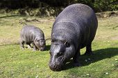 image of hippopotamus  - Pygmy Hippopotamus (Hexaprotodon liberiensis) are native to West Africa and Liberia and live in dense forests near rivers and 