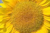 stock photo of blown-up  - Full blown flower of sunflower close up - JPG