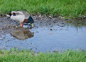 picture of duck-hunting  - Male Mallard duck in puddle hunting for food with room for type - JPG