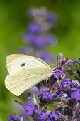 Cabbage Butterfly Closeup On A Blue Flower. Vertical
