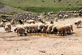 Flock of mountain goats drinking water
