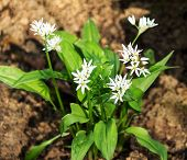 Wild garlic, Allium ursinum