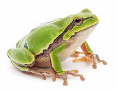 stock photo of tree frog  - Small tree frog isolated on white background - JPG