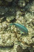 Yellowtail Parrotfish