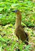 Beutiful Malayan Night Heron Bird With Very Nice And Sharp Blue Eyes