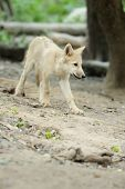 image of scared baby  - Baby arctic wolf pup in summer forest - JPG