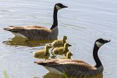 foto of baby goose  - canadian goose family with mom and dad and four babies floating on the pond - JPG