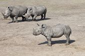 Three White Rhinoceros Or Square-lipped Rhinoceros (ceratotherium Simum)