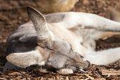 Grey Female Of The Red Kangaroo Species Sleeping On Wood Chips