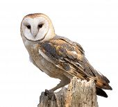 foto of owls  - A barn owl isolated on white - JPG