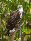 stock photo of osprey  - A beautiful Osprey sometimes called the Fish Hawk perches in a low hanging branch near a south Florida marina - JPG
