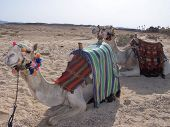 image of dromedaries  - Dromedaries sitting waiting to carry tourists in the desert - JPG