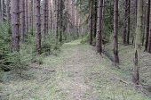 Footpath In Coniferous Spring Forest