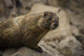 stock photo of marmot  - A close - JPG