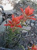 foto of xeriscape  - two Indian paintbrushes in bloom - JPG