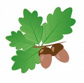 stock photo of acorn  - Light brown acorns with dark brown hats on a branch with bright green oak leaves on a white background - JPG