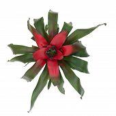 stock photo of bromeliad  - bromeliad  neoregelia flower isolated on white background - JPG