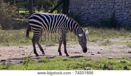 Zebra To Pasture