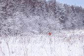 Winter landscape with frozen trees and skier in a forest