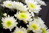 white chrysanthemum flowers bouquet