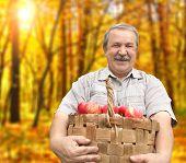 Senior man, harvesting an apples