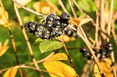 picture of mountain-ash  - autumn berry bush with fruits of a black mountain ash in a bright sunny day