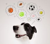 Cute black and white border collie thinking about balls in a thought bubbles above her head