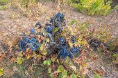 Top view of Neglected Vineyard with black grapes bunch