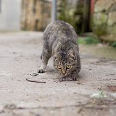 stock photo of dead mouse  - Front view of stray cat with a hunted mouse - JPG