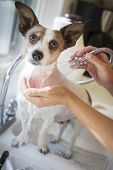 Cute Jack Russell Terrier Getting a Bath in the Kitchen Sink.