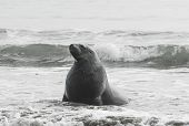 Adult New Zealand sea lion (Phocarctos hookeri) on the Curio Bay beach as it is comming from the sea, Southland - New Zealand