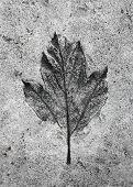 Leaf Print In The Stone