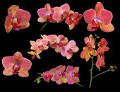 set of bright orchid flowers with pink strips isolated on black background