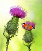 Thistle flowers with butterfly