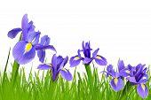 Iris flowers with dewy green grass