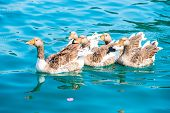 Beautiful Waterfowl Geese In Pure Water
