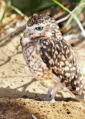 Burrowing Owl Vertical