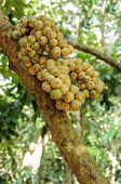Fresh Wollongong Fruits On Tree In Thailand