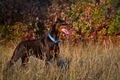 Doberman in autumn grass