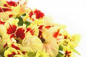 Red and yellow bright gladiolus \ horizontal \ close up