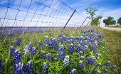 stock photo of bluebonnets  - Bluebonnets along country road and fence in Texas spring - JPG