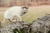 stock photo of mew  - White domestic cat is standing on the rocks in the woods scared and mewing - JPG