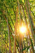 picture of bamboo forest  - illuminated bamboo cane forest with bright sunshine - JPG
