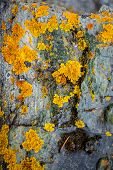 pic of lichenes  - Closeup texture of yellow and green lichen growing on gray stone - JPG