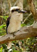 Australian icon kookaburra sitting in tree